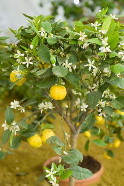 arbre de bergamote