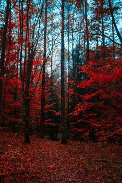 nature rouge feuille arbre