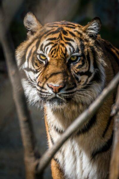 oeil de tigre vert