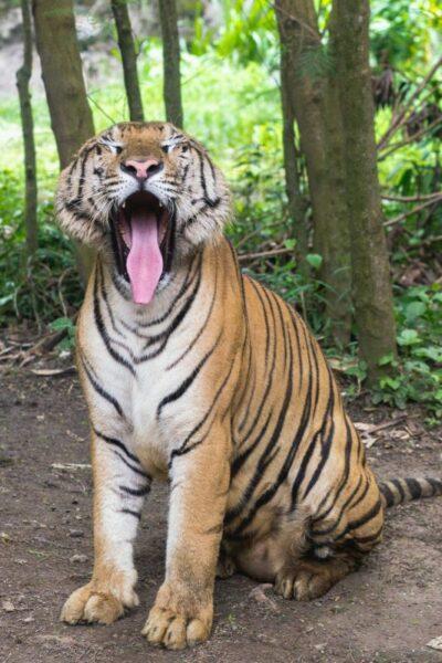 tigre nature