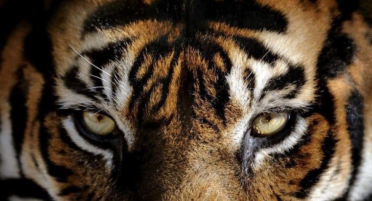 L'oeil de tigre tire son nom des yeux du félin
